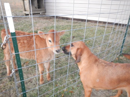 Jersey heifer calf and bloodhound