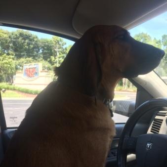 bloodhound driving