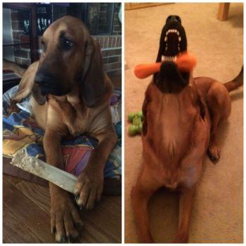 bloodhound playing bones