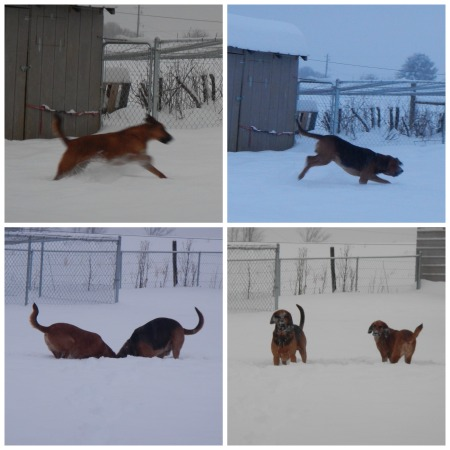 Bloodhounds Snow