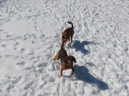 bloodhounds dogs in the snow