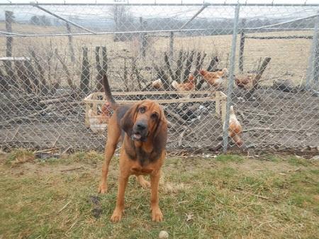 Bloodhound Chickens Chicken Coop