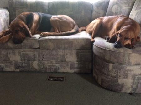 bloodhounds sleeping