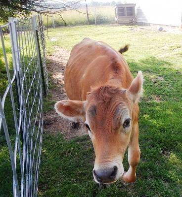jersey heifer calf backyard calf