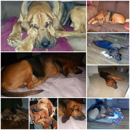 Bloodhound nap collage