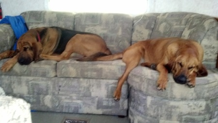 Bloodhounds camping