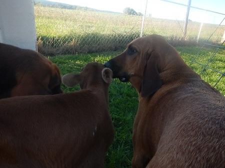 bloodhound and jersey heifer calf