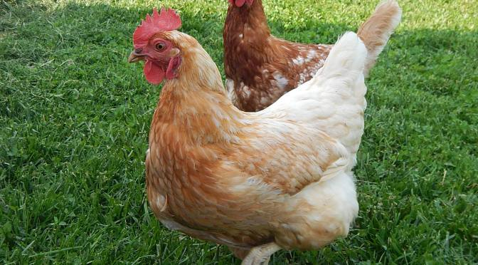 Red Sex Link chickens