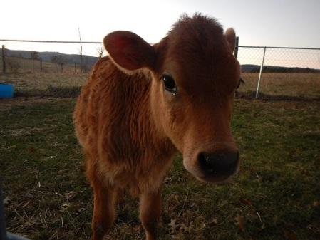 Jersey heifer calf