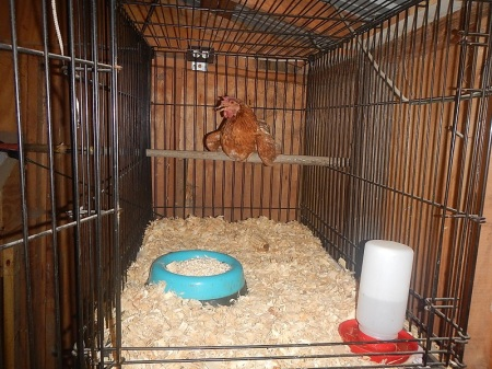 chicken roosting pole